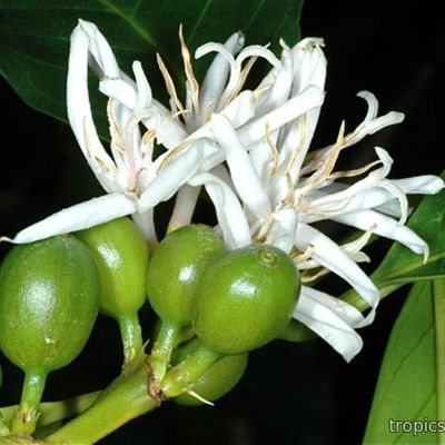 Coffea Arabica - Кофе Арабика