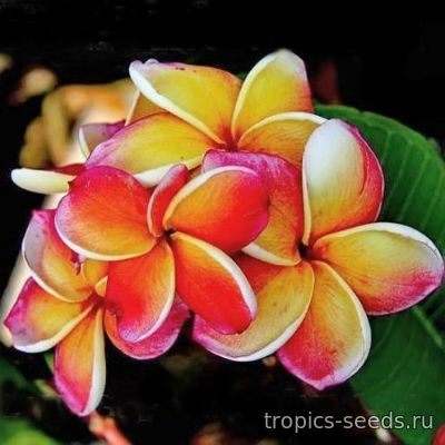 Plumeria rubra KING INCREDIBLE - Плюмерия