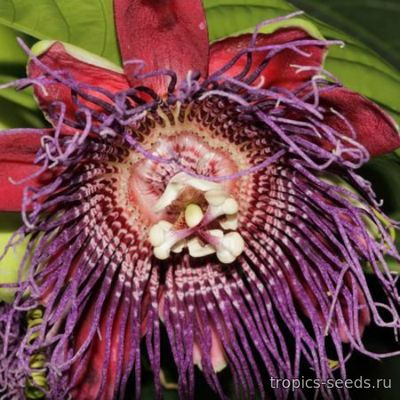 Passiflora quadrangularis - Пассифлора четырехгранная