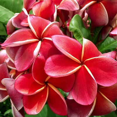 Plumeria rubra DREAM ANGELS - Плюмерия
