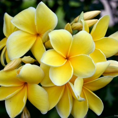 Plumeria rubra YELLOW MOON - Плюмерия