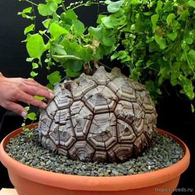 Dioscorea elephantipes - Диоскорея слоновая